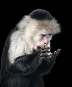 Studio photograph of Capuchin monkey looking at something in its palm. The animal seems to be fascinated by the object.