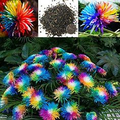 200 PCS/Rare Rainbow Colored Chrysanthemum Flower Seeds/Himalayan Orchid Seeds For Home Garden Planting Rare Rainbow Chrysanthemum Flower Seeds - Rare Color - Home Garden Flower - 100 Seeds Orchid Seeds, Flower Seeds, Flower Pots, Rare Flowers, Exotic Flowers, Beautiful Flowers, White Flowers, Silk Flowers, Pot Jardin