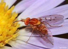 Bee fly feeding on western daisy fleabane flower.
