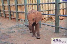 Die Nacht verbringen die kleinen Elefanten in Gehegen der Auswilderungsstation, damit sie vor Löwen und anderen Raubtieren geschützt sind. Nairobi, Elephant, Animals, Predator, Elephants, National Forest, Night, Animales, Animaux