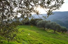 The Melia Extra Virgin Olive Oil is produced and collected by the Association of Messinia, near Kalamata which is consisted by local producers. The olive oil we trade is of the Koroneiki variety harvested at Messinia province, a well known variety that origins from the most famous olive tree in the world. The olives that come from this tree are small but have a high yield of olive oil of 27% of exceptional quality. The local eco-system provides natural food for the trees.