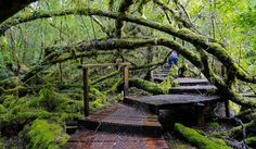 Deep in Tasmania's Styx Valley wilderness area, discover a centuries-old forest housing the world's tallest hardwood trees like the 84m tall Gandalf's Staff