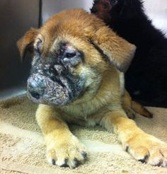 Brought to the vet to be euthanized by the person who bred them; sadly in their opinion any amount was too much to spend on them even though the vet tried to give them every break possible.  Westside German Shepherd Rescue of Los Angeles saved them. They are now constantly treated by vet but needs donations. Can you help? PLEASE?https://www.facebook.com/WGSRescue
