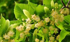 3 Powerful Linden Home Remedies – Eliminate Toxins, Combat Insomnia and Chronic Fatigue - https://topnaturalremedies.net/home-remedies/3-powerful-linden-home-remedies-eliminate-toxins-combat-insomnia-chronic-fatigue/