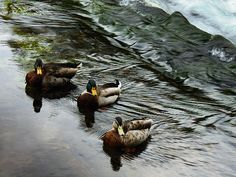 Mallard Ducks in Stream by Felikss Veilands Mallard, Ireland, Wildlife, Photography, Photograph, Fotografie, Photoshoot, Irish, Fotografia