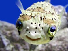 Smiling porcupine fish!