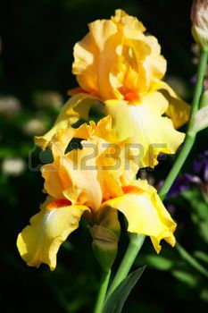 beautiful flower iris closeup. orange with maroon photo