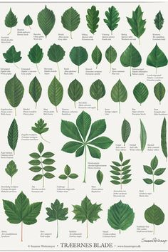 poster with different leaves from trees, so you can learn the different in nature. NB: the title of the poster is danish. Botanical Drawings, Botanical Illustration, Botanical Prints, Tree Leaves, Plant Leaves, How To Identify Trees, Tree Leaf Identification, Images Noêl Vintages, Nature Sketch