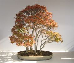 Walter Pall Japanese Maple Bonsai (3)