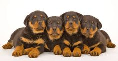 """""""Is dinner served soon?"""" More pinable #dogs and #puppies can be found by clicking on this #Rottie pic"""