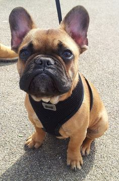 The major breeds of bulldogs are English bulldog, American bulldog, and French bulldog. The bulldog has a broad shoulder which matches with the head. Blue French Bulldog Puppies, Cute French Bulldog, French Bulldogs, Cute Puppies, Dogs And Puppies, Pet Dogs, Dog Cat, Doggies, Chihuahua Dogs