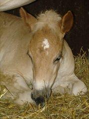 kone > kone na predaj. Polish Horses available the famous Polish bred horses