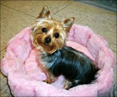 Maci is an adoptable Yorkshire Terrier Yorkie Dog in Chambersburg, PA. YOU MUST APPLY ON OUR WEBSITE ( http://www.yorkierescueme.com ) BEFORE CONTACTING MY FOSTER MOM!  READ ALL ABOUT ME BELOW! 1 yea...