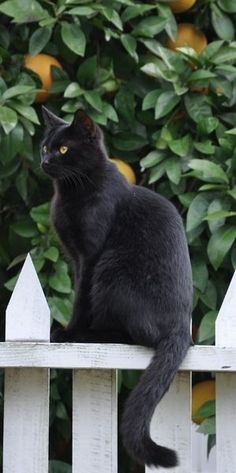 Black cat sits on the garden fence