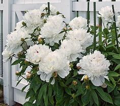 Image result for peonies white