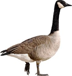 The geese are coming! Protect your property from Canada Geese!