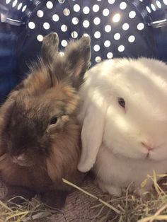 7/2017 BRO COMFORTED ME ON OUR WAY TO THE HOSPITAL WHERE I WAS GOING TO HAVE SURGERY DUE A BLOCKAGE IN MY STOMACH😳 HE WAS SO GREAT AND A REAL WONDERFUL BRO DURING MY SICKNESS👍🏻🐰🐾🐾 HE EVEN STOPPED EATING FOR A WHILE CAUSE HE MISSED ME SO MUCH WHEN I WAS HOSPITALIZED😳 POOR MOM THOUGHT BRO WAS SICK TOO!! WE WERE ALL SO HAPPY WHEN THE X-RAYS SHOWED SOME APPROVEMENT, THE SURGERY WAS POSTPONED, LATER CANCELLED CAUSE I STARTED FEELING BETTER AND 💩💩💩💩💩💩 AGAIN :) DEXTER on D&D by Inger J…