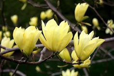 Yellow Flowering Japanese Magnolia 'Butterflies'