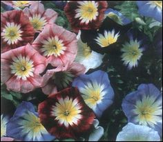 MORNING GLORY ENSIGN MIX