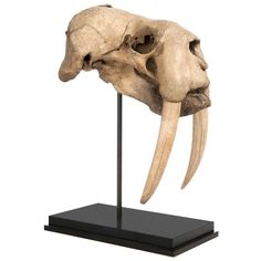 Skull of a Walrus   From a unique collection of antique and modern taxidermy at http://www.1stdibs.com/furniture/more-furniture-collectibles/taxidermy/