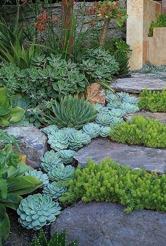Landscape succulents for those dry impossible areas