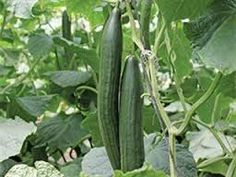 Cucumber Cucumber Seeds, City Farm, English Cucumber, Sustainable Food, Urban Homesteading, Urban City, Fruit And Veg, Get Healthy, Farms