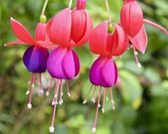 Most of the fuchsias grown as garden or house plants are hybrids (Fuchsia hybrida, hardy to U. Department of Agriculture plant hardiness zones 8 through resulting from crosses between species of fuchsia native to South America. Hoya Plants, Cactus Plants, Indoor Cactus, Succulent Planters, Cactus Art, Succulents Garden, Garden Pots, Garden Ideas, Begonia