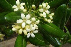 pittosporum - green filler