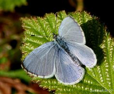 The Holly Blue male butterfly (Celastrina argiolus)