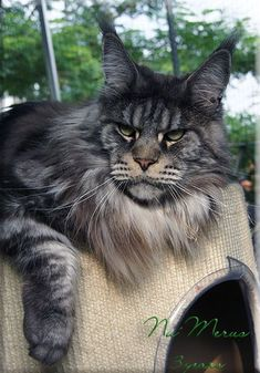 Nu Merus, 3 years old male Maine Coon. He is a gorgeous Maine Coon with the wild feral look.