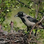 Ochutené banány v lístkovom ceste (fotorecept) - recept Birds, Animals, Crows, Black, Crow, Profile, Ravens, Animales, Raven