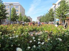 A street full of roses in Oulu, Finland. Finland, Dolores Park, Photograph, Roses, Street, Travel, Photography, Viajes, Pink