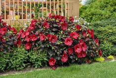 """There's a whole lot to love about this plant, beginning with its incredible dark, near-black foliage of beautiful, oval shaped leaves. Rich, deep red flowers are enormous at 8-9"""" across. The red and black colors perfectly complement each other. As an added bonus, once the flowers are finished, bright green calyxes starkly contrast the dark foliage. Use in an area with consistent moisture as a focal point to build your garden around. Year of the Hardy Hibiscus - National Garden Bureau Red Flowers, Beautiful Flowers, Garden Inspiration, Garden Ideas, Container Design, Bright Green, Trees To Plant, Hibiscus, Garden Plants"""
