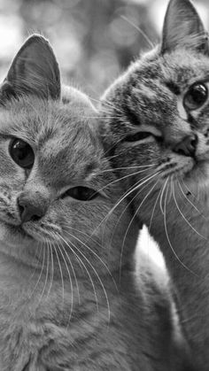 Two heads are better. Cute Cats And Kittens, Kittens Cutest, Fluffy Kittens, Kittens Meowing, Black Kittens, Kittens Playing, Big Cats, Nature Animals, Animals And Pets