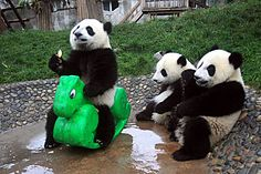 Giant Panda riding his dragon ♥ This is a legitimate photo. The Giant Panda is the most threatened of all 8 species of bears and the chinese are working very hard with their breeding programs to save them.See Mo Cute Baby Animals, Animals And Pets, Funny Animals, Baby Pandas, Baby Bears, 3 Bears, Panda Funny, Cute Panda, Panda Mignon