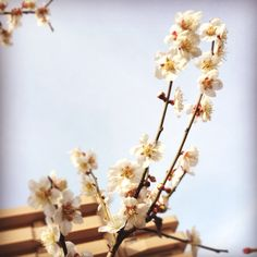 Japanese plum-blossom. Noble, but lovely. You don't feel so?