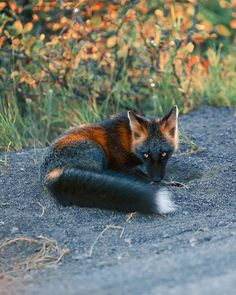 Wildlife photographer S. Gaby has captured absolutely stunning photos of a gorgeous cross fox who has a unique black and orange coat and beautiful Cute Baby Animals, Animals And Pets, Strange Animals, Beautiful Creatures, Animals Beautiful, Wolf Hybrid, Pet Fox, Majestic Animals, Wild Dogs