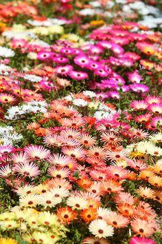 flowerfield, Japan