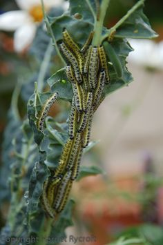 Cabbage White caterpillars on my Nero di Toscana kale. Sometimes you just have to admit defeat.