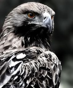 New Snap Shots birds of prey raptors Strategies To be a gulls regarding victim professional photographer, a vey important concern nearly all grumble in relat Black Animals, Animals And Pets, Bird Of Prey Tattoo, Natur Tattoos, Eagle Pictures, Eagle Art, Eagle Tattoos, Tier Fotos, Birds Of Prey