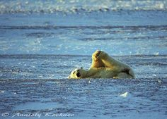 Arctic wildlife captured by photographer and polar scientist Anatoly Kochnev