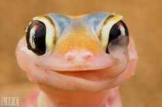 A Gecko licks dew from its eye.