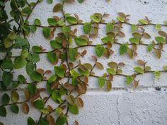Unha de gato (Ficus pumila) muro