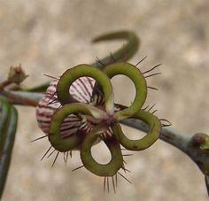 Ceropegia dimorpha - Djamel's picture-unusual flower