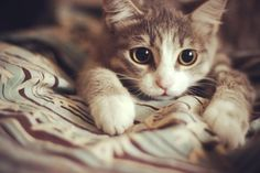 """""""A kitten is chiefly remarkable for rushing about like mad at nothing whatever, and generally stopping before it gets there."""" --Agnes Repplier"""