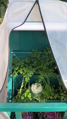 Raising Parsley doing well so far. www.mikriscoop.com