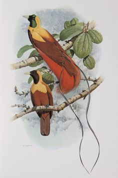 Male and female Red Bird of Paradise from the 'Rituals of Seduction: Birds of Paradise' exhibition.