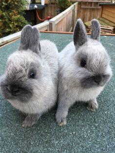 Netherland dwarf rabbits for sale. Ready now | Buckingham, Buckinghamshire…