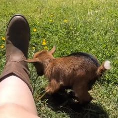 Cute Little Animals, Cute Funny Animals, Cute Goats, Baby Goats, Cute Animal Videos, Cute Creatures, Animal Memes, Animals And Pets, Nature Animals