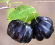 Eugenia uniflora - Black Surinam Cherry. Very rare. The sweetest variety, without aftertaste, the fruit is large 1-1.2 inch, dark red to almost black, very juicy. Reliable producer. Hard-to-find. The tree is upright, freely branching. Produces fruit on second year after planting. These plants are cold hardy and can take short periods of frost. Once established, the plant can withstand upper 20's without damage.